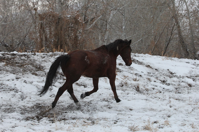 Hillbillie Willie romping in the Owyhee snow, Idaho