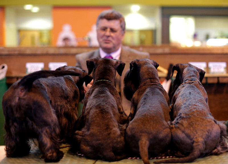 . A man looks at terriers on the second day of the Crufts dog show at the NEC on March 7, 2014 in Birmingham, England. Said to be the largest show of its kind in the world, the annual four-day event, features thousands of dogs, with competitors traveling from countries across the globe to take part. Crufts, which was first held in 1891 and sees thousands of dogs vie for the coveted title of \'Best in Show\'.  (Photo by Matt Cardy/Getty Images)
