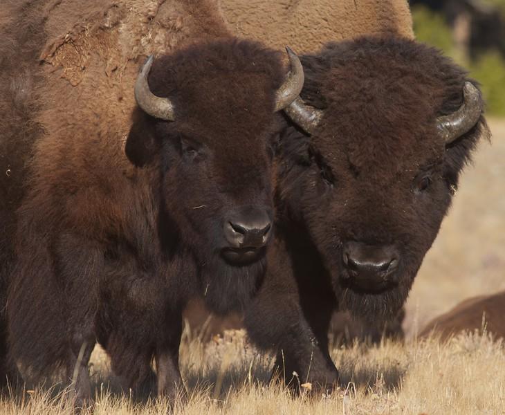 Bison Yellowstone N.P. WY IMG_0068892.jpg