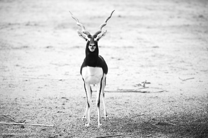 Black Buck Deer in Lal Suhanra National Park, South Punjab Pakistan