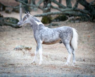 Grey & White colt