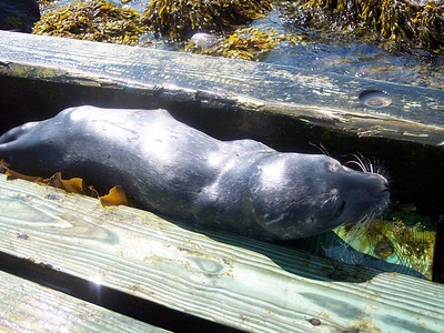 Seal Casualty on Thacher Island
