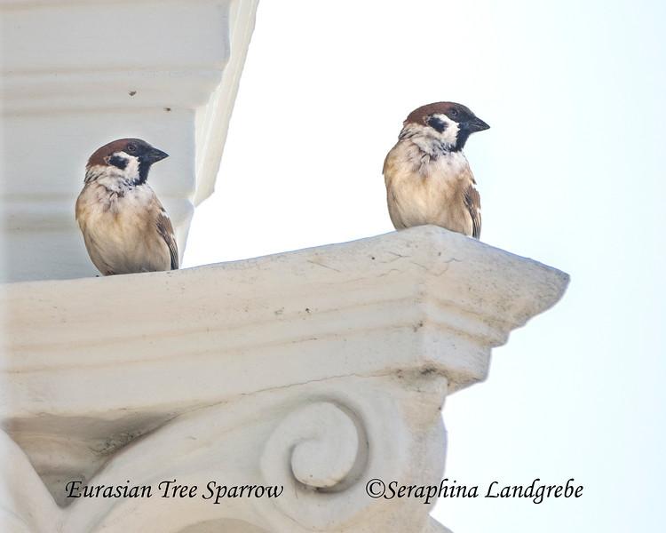 _DSC4719Eurasian Tree Sparrow, Thailand.jpg