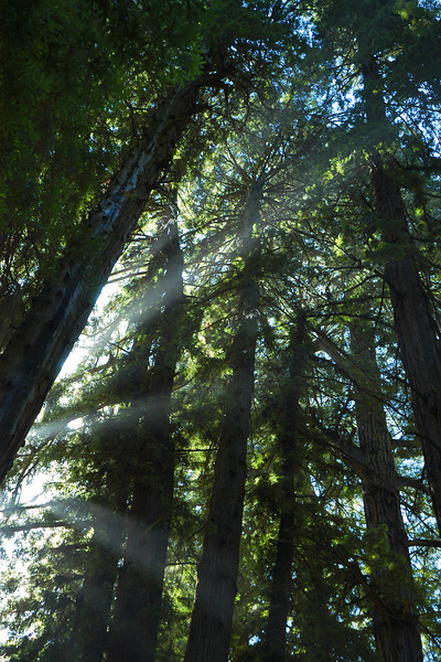 Beams throught the Redwoods.jpg