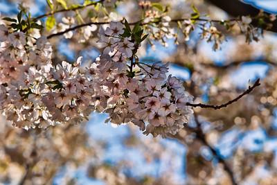 Cherry Blossom Festival - April 2010