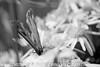Gate Keeper - Pyronia tithonus (36)