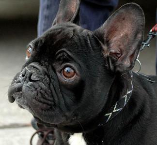 Comet French  Bulldog