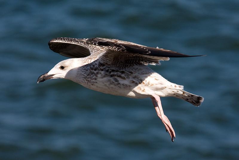 gull-in-flight_5031186327_o.jpg