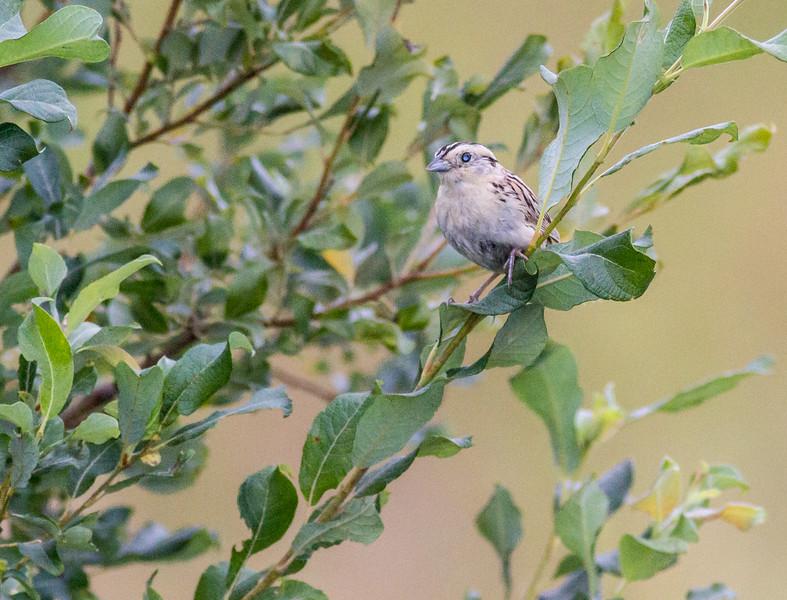 LeConte's Sparrow juvenile Poplar Road Bog BioBlitz VI FOSZB Sax-Zim Bog MNIMG_0096.jpg
