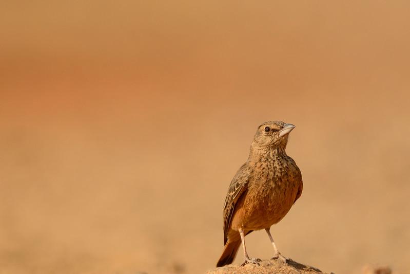 Rufous-tailed-larl-hampi-1.jpg