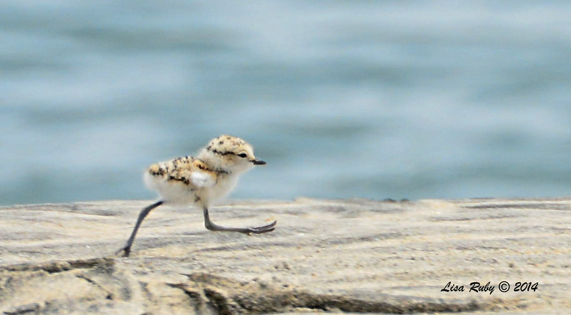Snowy Plover chick - 6/15/2014 - Imperial Beach