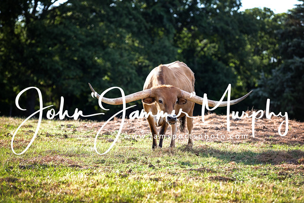 Longhorns and Watusi