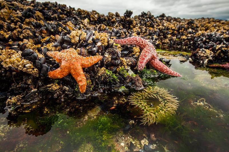 Ochre starfish (Pisaster ochraceus), and California mussel (Mytilus californianus), Giant green anenome (Anthopleura xanthogrammica), rock pool, Vancouver Island, British Columbia