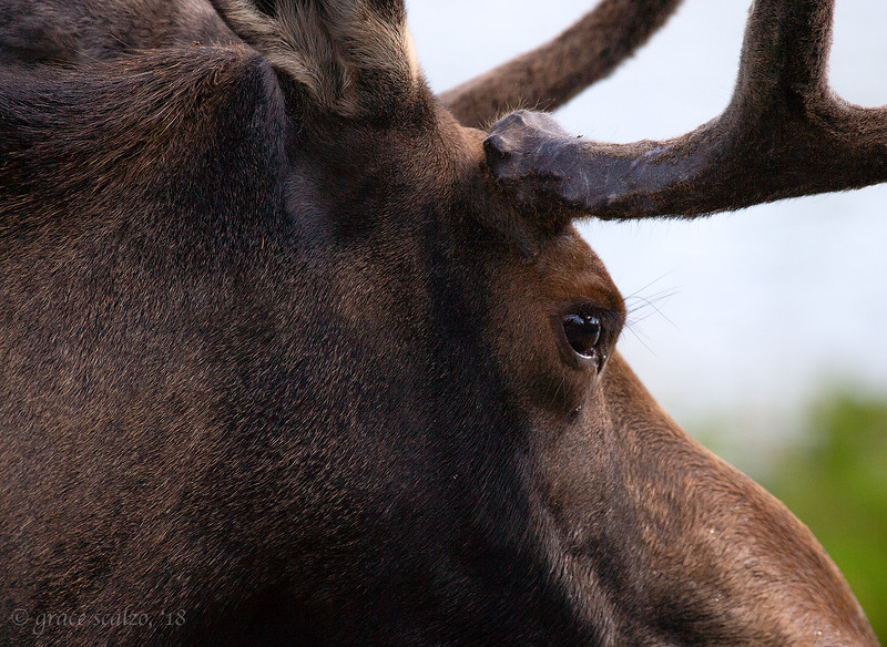 Moose close up
