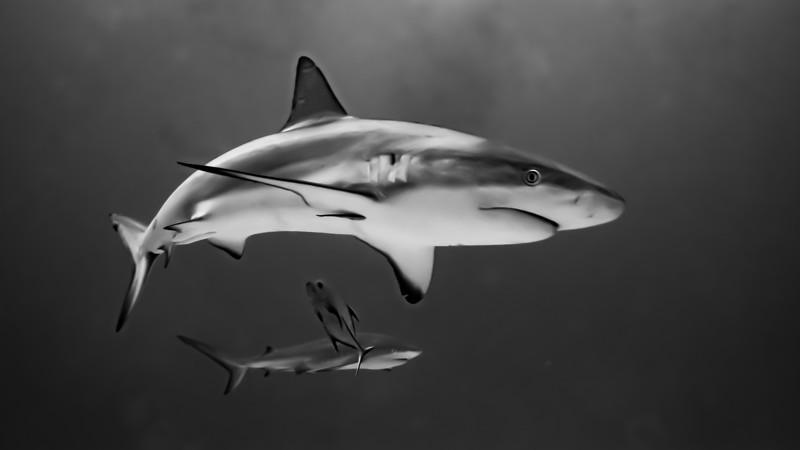 Smooth Shark Edit.jpg