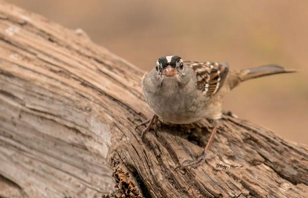 White-crowned Sparrow LL_DWL0223.jpg