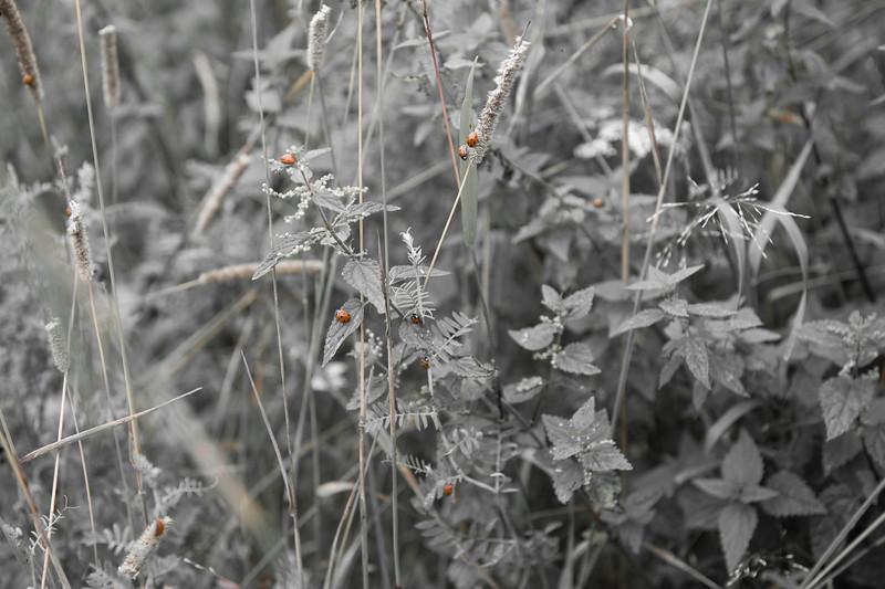 20090813as10-02-05 coccinella septempunctata, syvprikket marihøne