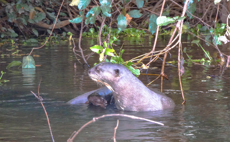Paddling through the Pantanal in Brazil otters.png
