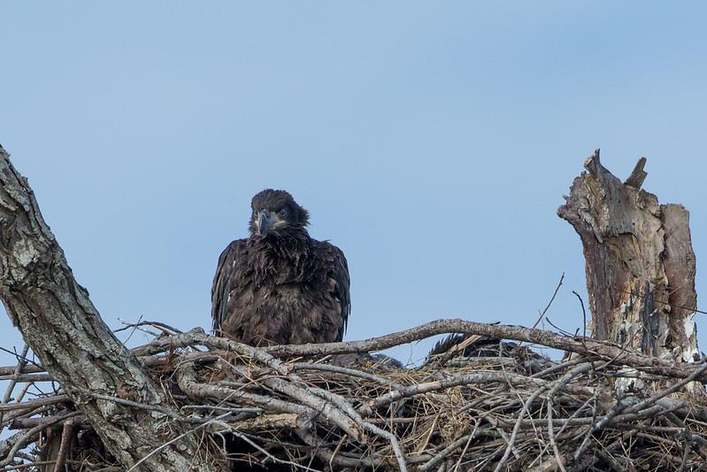 20130228-_G7Q9168cc lockwood eagle shoot.jpg