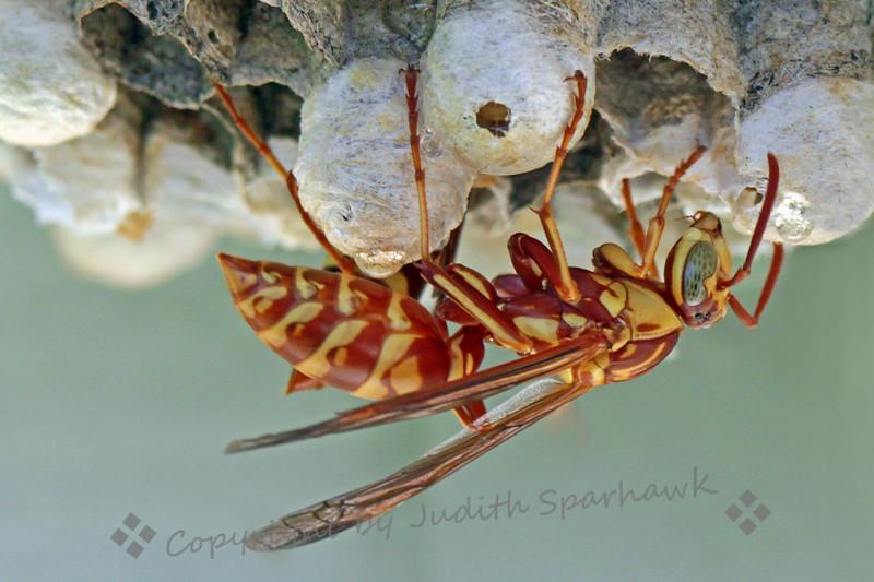 Mr. Wasp - Judith Sparhawk