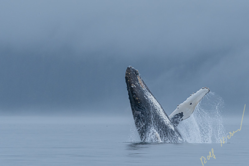 Humpback whale whale breaching on a foggy morning in the Broughton Archipelago, First Nations Territory, British Columbia, Canada.