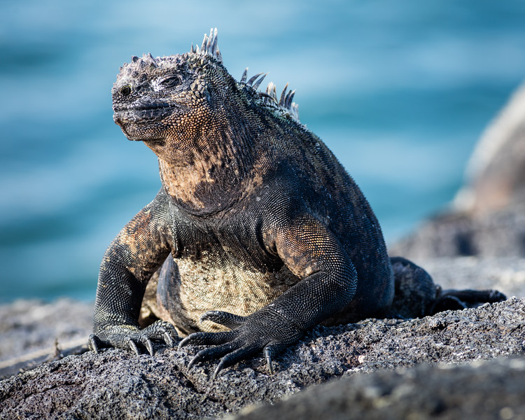 Galápagos Marine Iguana (Amblyrhynchus cristatus), Galapagos with J, L & L Davis