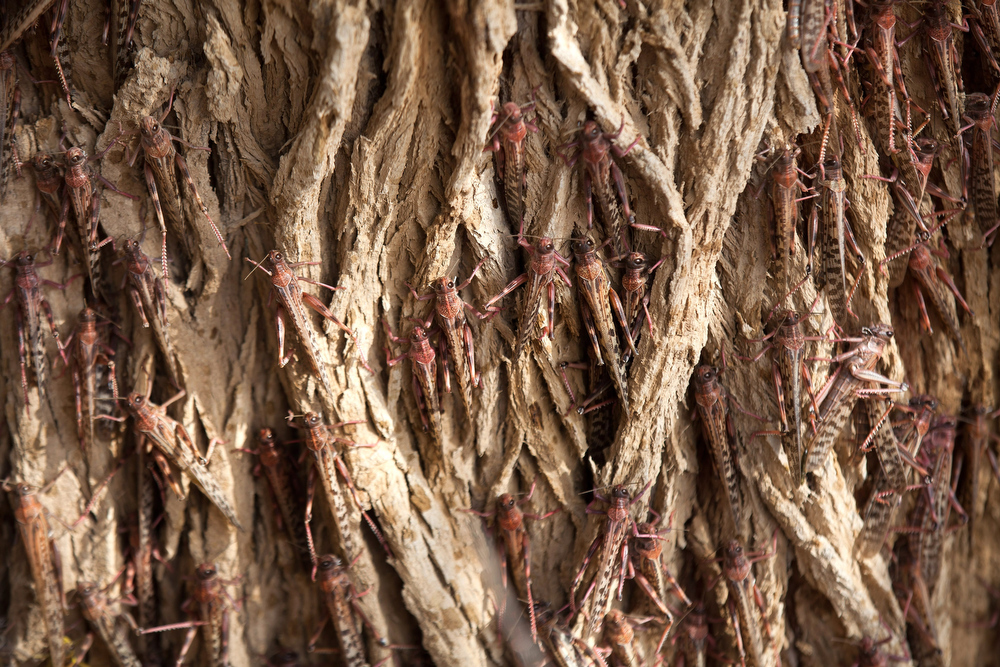 . Locusts move on a tree as a Swarm of locusts arrives in Israel near the Egyptian border on March 6, 2013 in Kmehin, Israel. Egypt and Israel have been swarmed with millions of locusts over the past few days causing wide spread disturbances.  (Photo by Uriel Sinai/Getty Images)