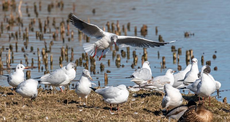 Gull landing-50.jpg