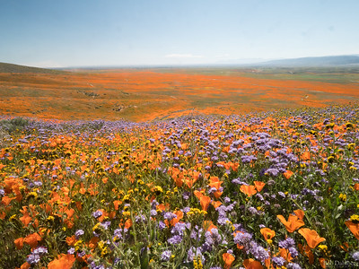 Super Bloom 2019 -  Southern California