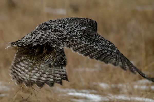 11-30-18 *Great Gray Owls