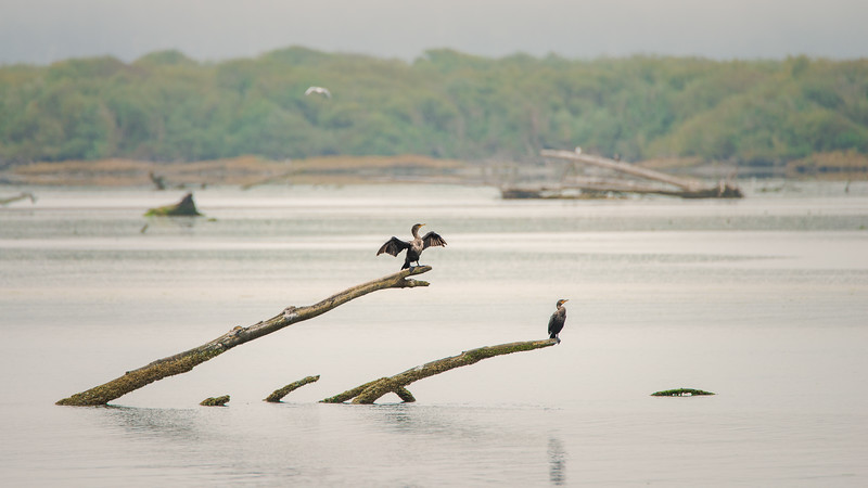 Double-crested Cormorants at Eel River Delta-9654.jpg
