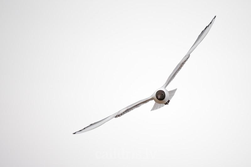 Black-headed gull in flight in breading plumage