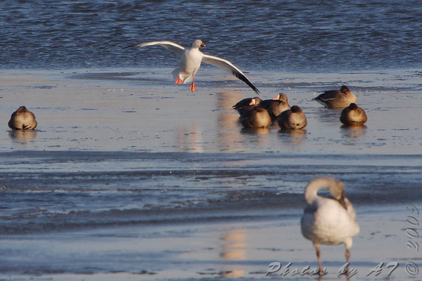 2009-12-10 Riverlands Migratory Bird Sanctuary