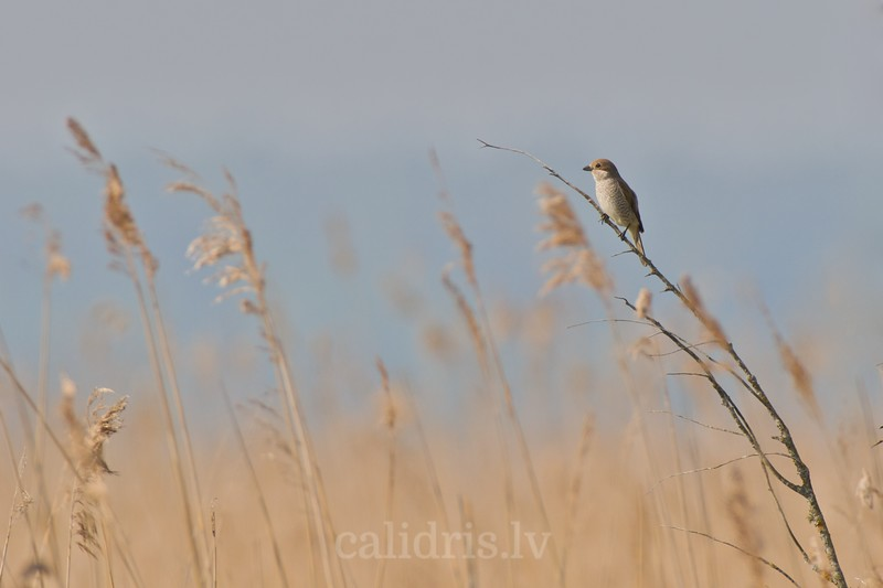 Red-backed Shrike on a perch, female
