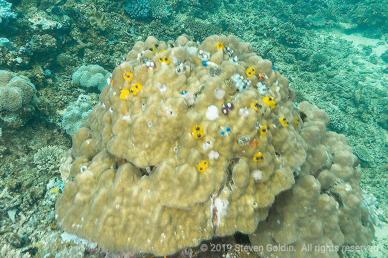 Boulder Coral with colorful Christmas Tree worms