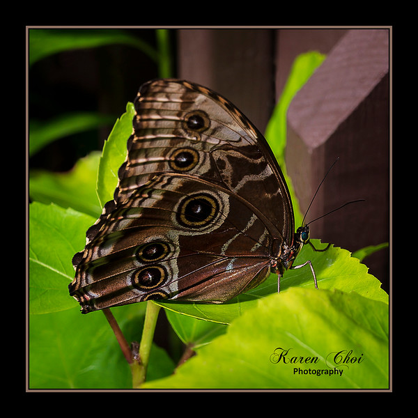 sm Brown Butterfly.jpg