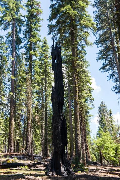 2019 San Francisco Yosemite Vacation 046 - Mariposa Grove.jpg