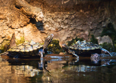 Map Turtles (Graptemys geographica)