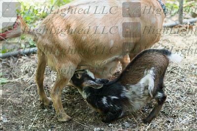 Aprils Goats 2019