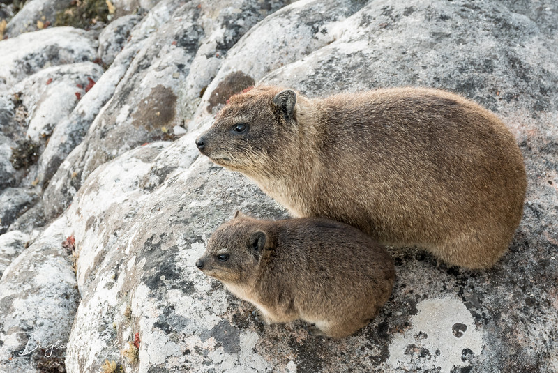 "Rock Hyrax (""Dassie"") pair on Table Mountain"
