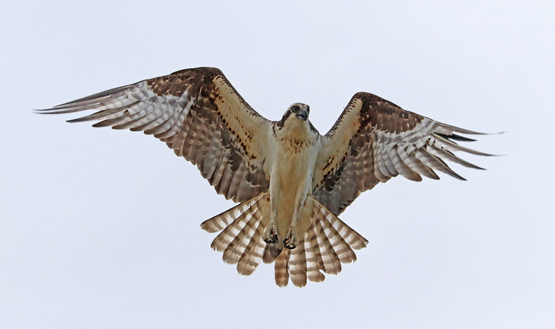 osprey 520.jpg