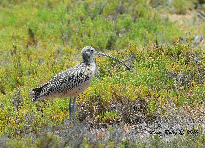Long-billed Curlew  -  6/29/2014 - Tijuana Estuary Preserve, Imperial Beach