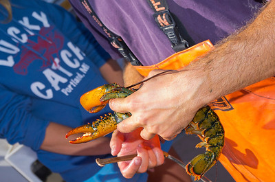 Freshly caught lobster being measured