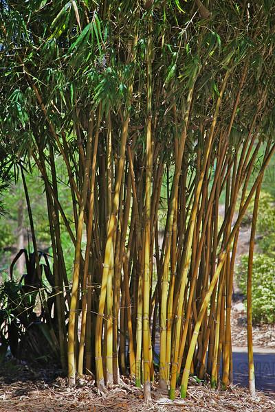 Asian Lemon Bamboo (Bambusa eutuldoides 'Viridvittata'), native to China; at the Jacksonville Zoo and Gardens.