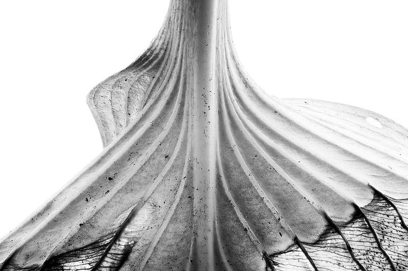 hosta-leaf-02.jpg