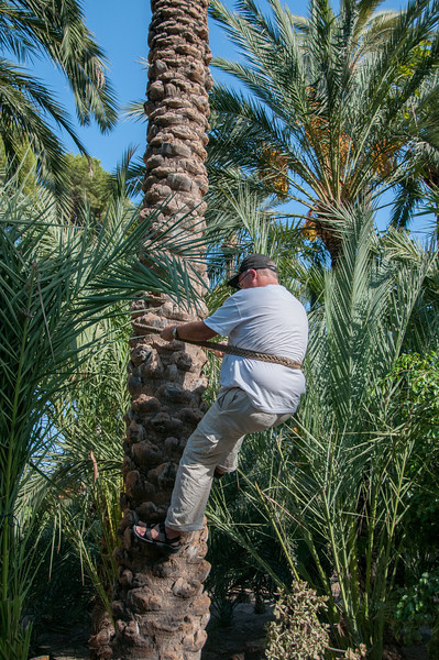 Navigating a palm tree in Palmeral of Elche, Spain
