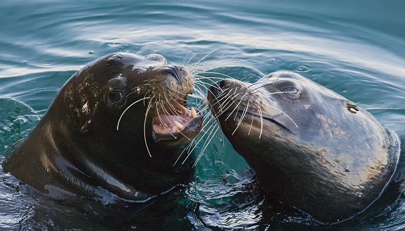 California Sea-lion