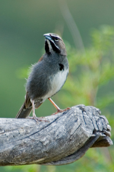 Sparrow - Five-striped - California Gulch - AZ - 02