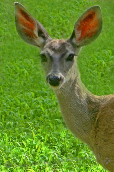 Deer at Madera Canyon