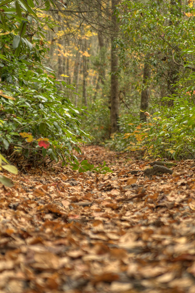 Brown leaves cover the trail surrounded by vibrant rhododendron along the Little Stoney National Recreation Trail in Dungannon, VA on Saturday, October 25, 2014. Copyright 2014 Jason Barnette